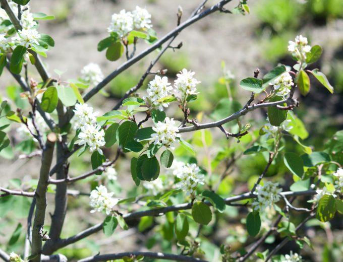 Fleur blanche d'un arbre fruitier